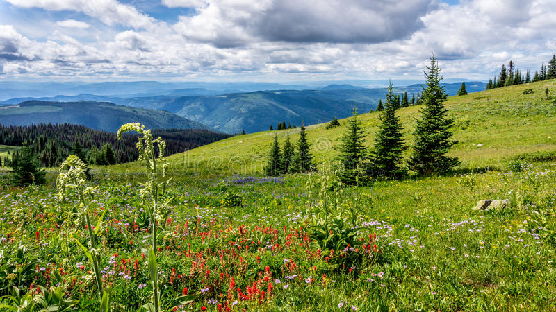 Helleboris, Indian Paint Brush and other Wild Flowers in the High Alpine. Of Tod Mountain in the Sushwap Highlands and part of the Sun Peaks ski resort in royalty free stock photo