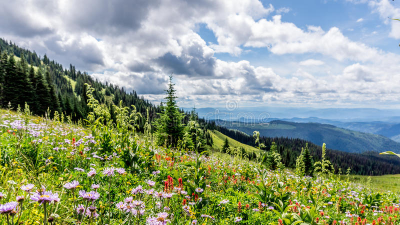Helleboris, Mountain (Leafy) Aster and Indian Paint Brush flowers in the High Alpine stock photos
