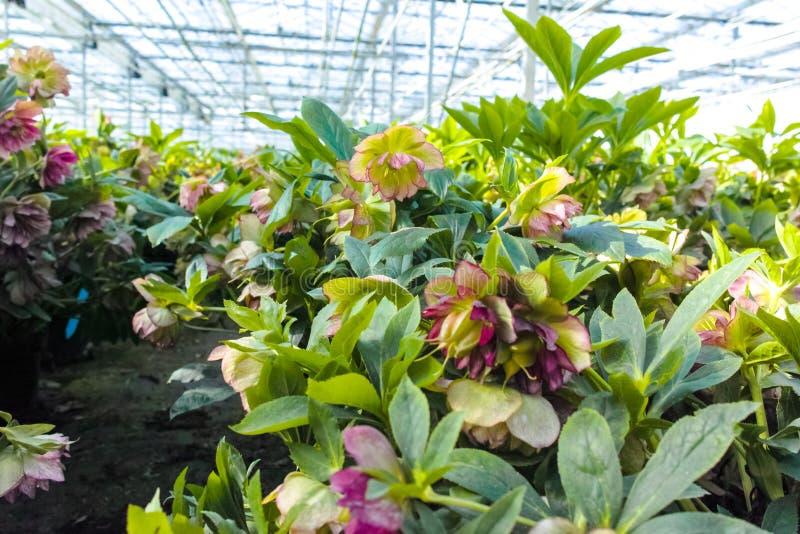 Helleborus или рождество подняли, вянут цветя завод сада, культивируемый как декоративный или орнаментальный цветок, растя в парн стоковое изображение rf