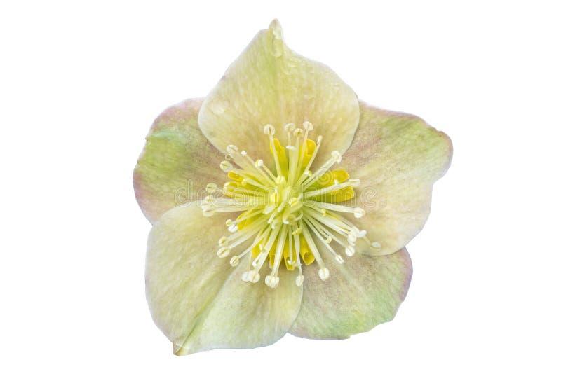 Helleborus x ballardiae `Cinnamon Snow` fotografia stock libera da diritti