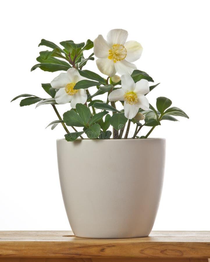 Helleborus die erste Frühlingsblume in einem Flowerpot lizenzfreie stockfotos