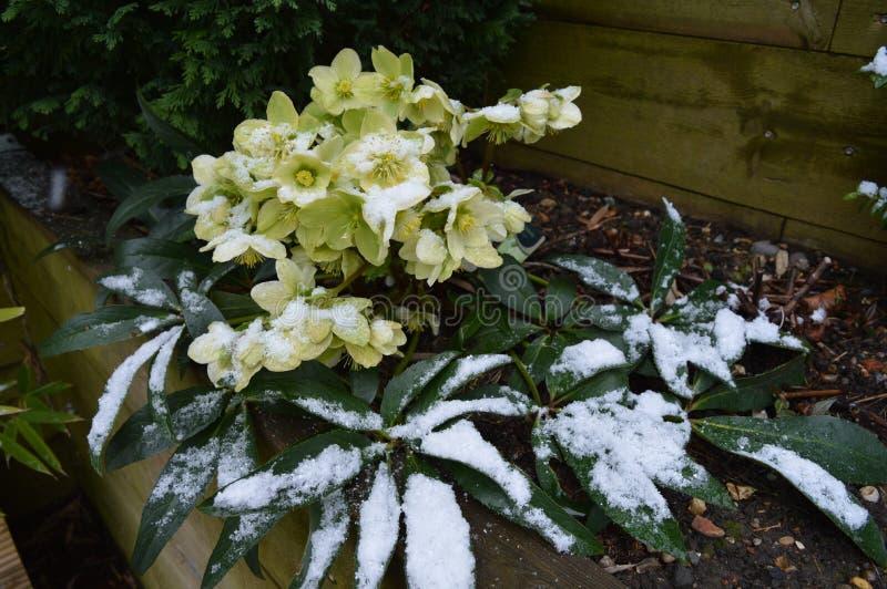Helleborus na neve imagens de stock