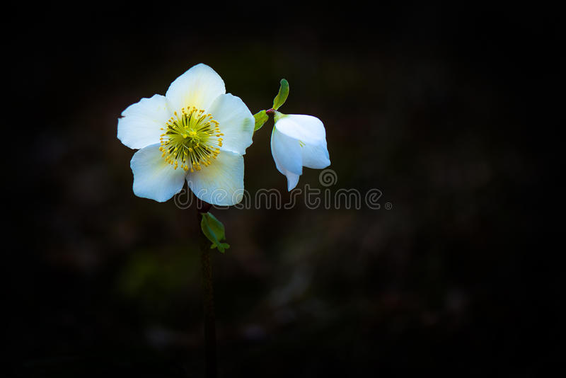 Helleborus Niger biały kwiat fotografia stock