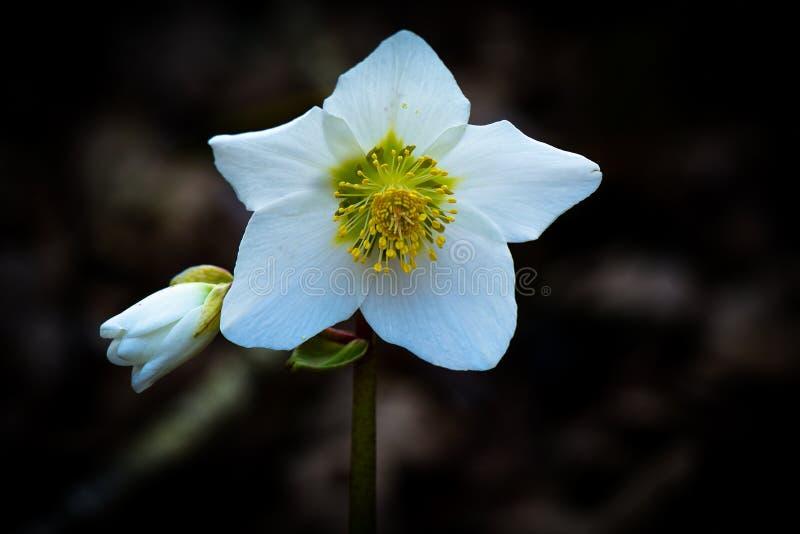 Helleborus Niger biały kwiat obrazy stock