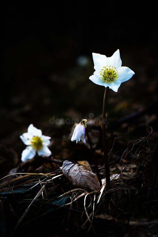 Helleborus Niger biały kwiat zdjęcie stock