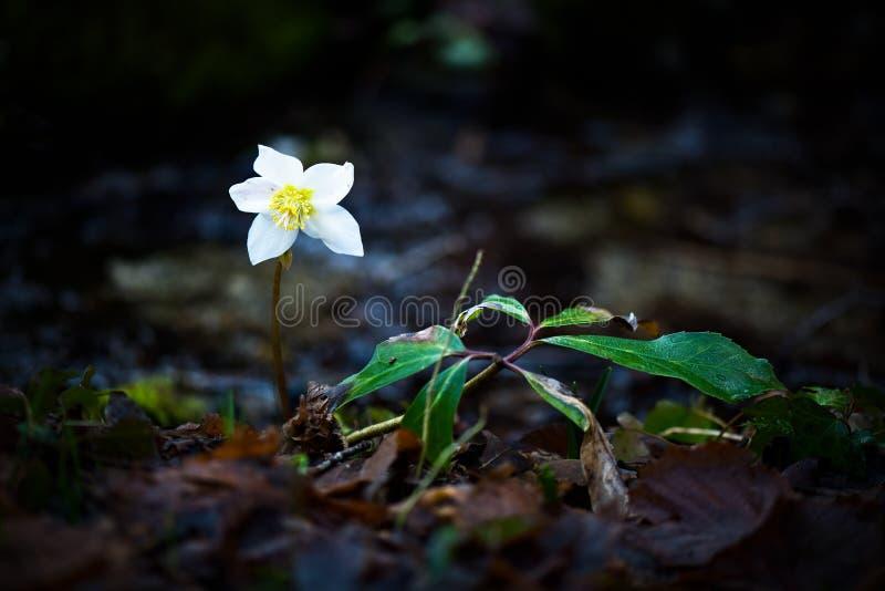 Helleborus Niger biały kwiat obrazy royalty free