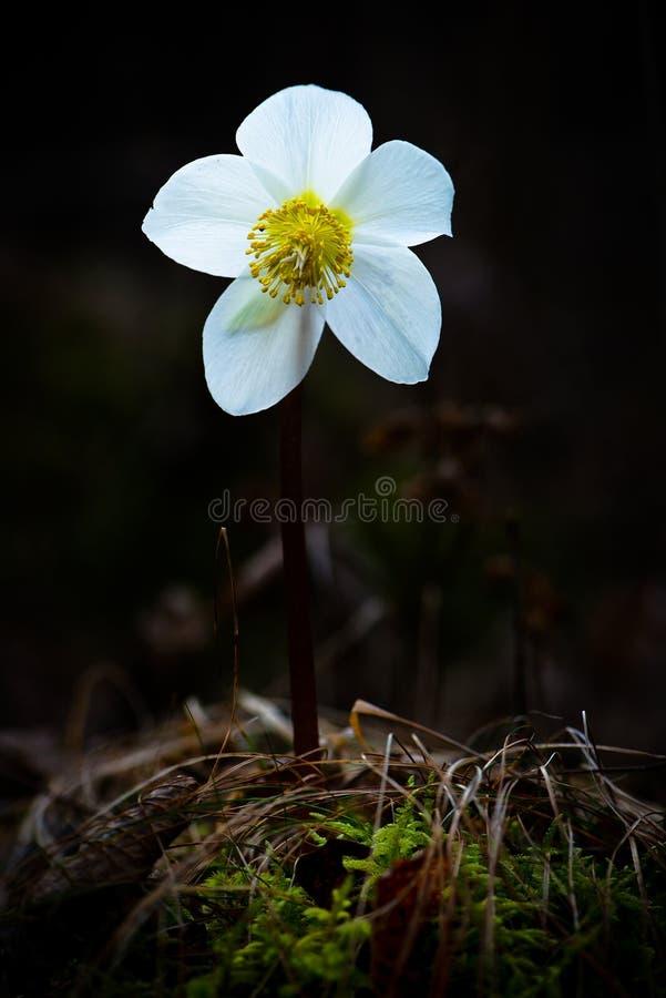 Helleborus Niger biały kwiat obraz stock