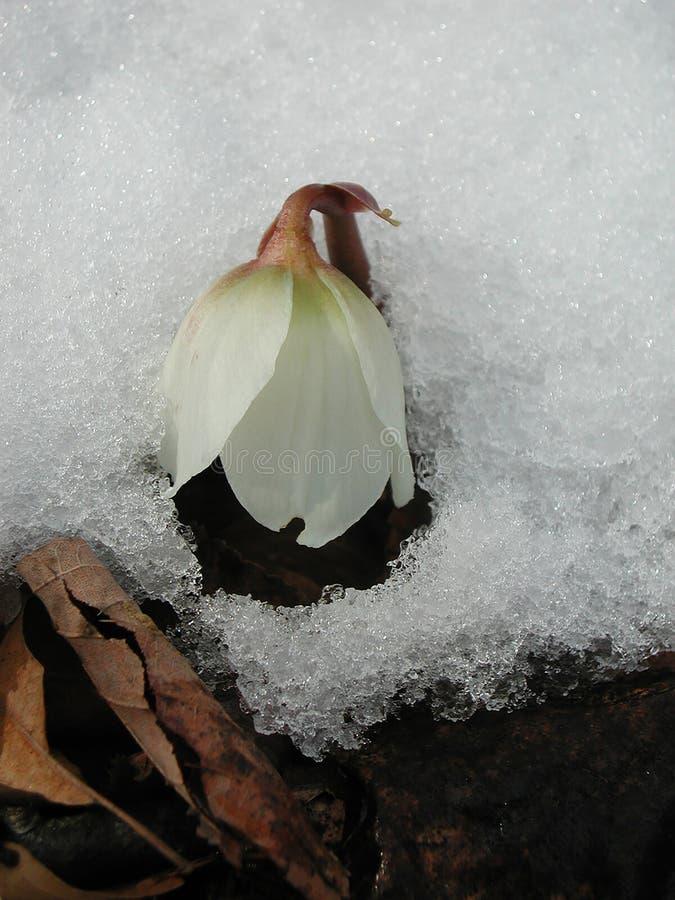 Helleborus niger blooming in winter. Helleborus niger flowers close up royalty free stock image
