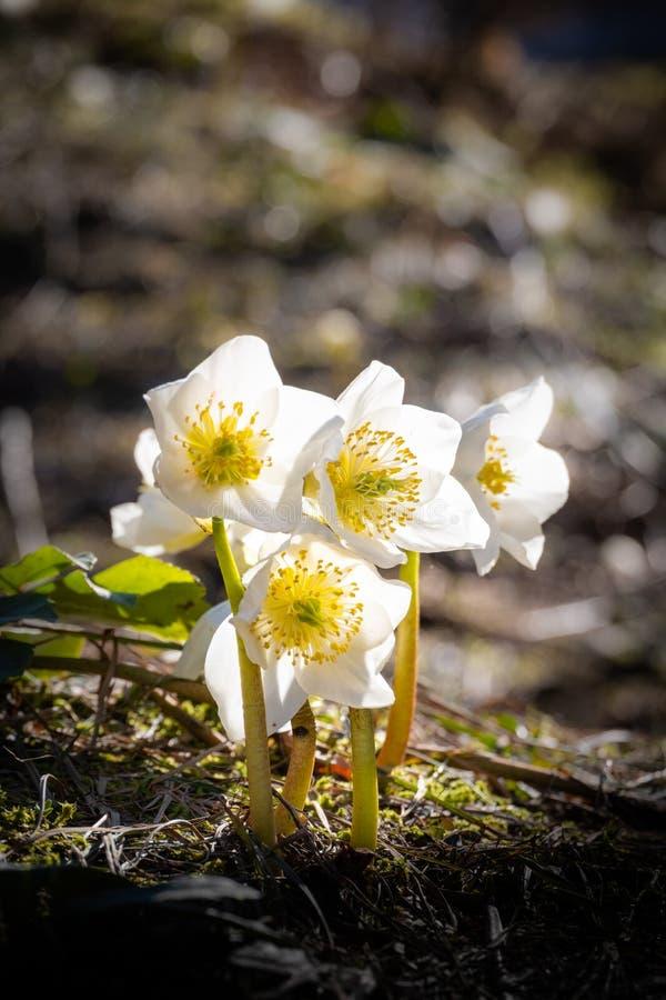 Helleborus Niger, boże narodzenia różani lub czarnego ciemiernika kwitnienie w Slovenia, fotografia stock