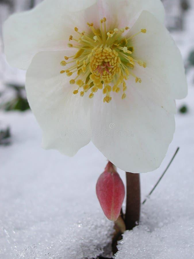 Helleborus niger blooming in winter. Helleborus niger flowers with snow royalty free stock photo