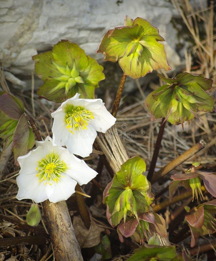 Helleborus niger subspecie macranthus. Blossoms and fruits of Helleborus niger subspecie macranthus royalty free stock images