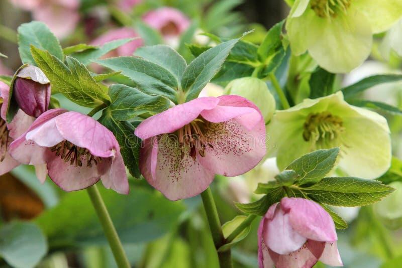 Helleborus niger Uma neve-rosa ou flores do christrose imagem de stock