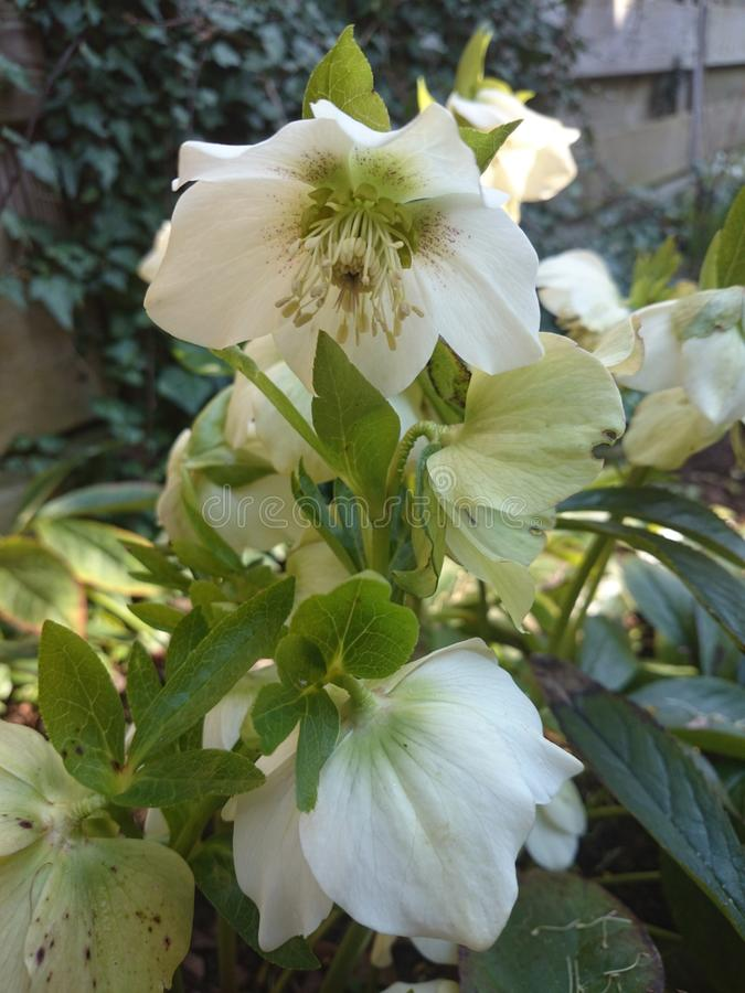 Helleborus niger/ winter rose. A beautiful picture of a helleborus in spring royalty free stock photo