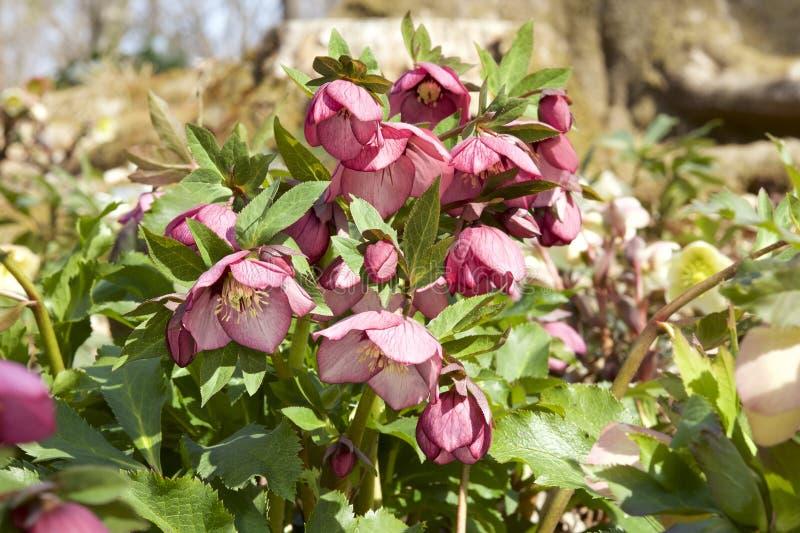 Helleborusbloemen in de vroege lente royalty-vrije stock afbeeldingen