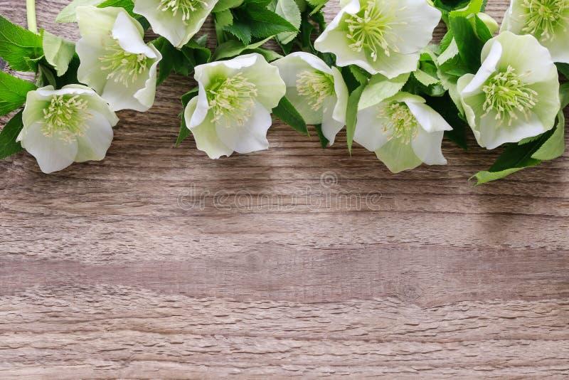 Helleborusorientalis van Helleborebloemen op hout royalty-vrije stock afbeeldingen