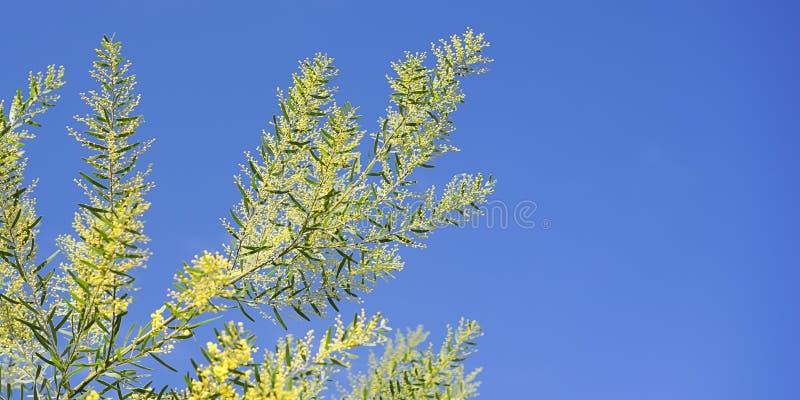 Heller australischer Frühlingshintergrund goldener Zweig und blauer Himmel stockfoto