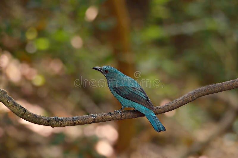 Heller blauer Vogel stockbild