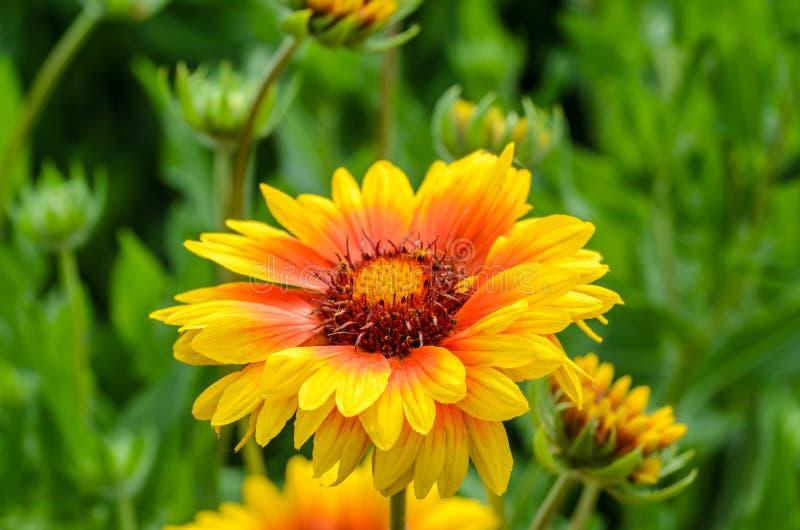 Heller Blume Gaillardia lizenzfreie stockbilder