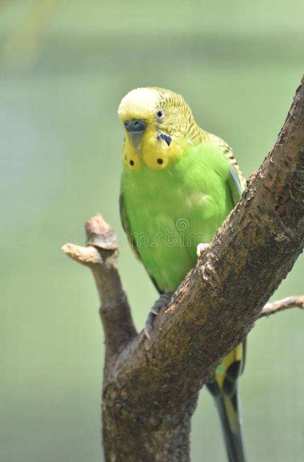 Heller bunter gelber und grüner gemeiner Sittich in einem Baum lizenzfreies stockfoto