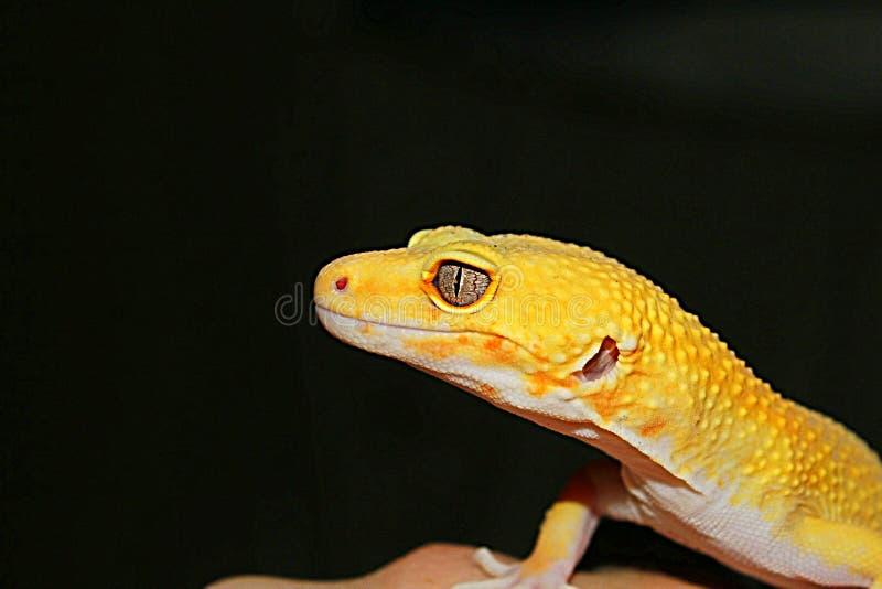 Heller Gecko stockbild