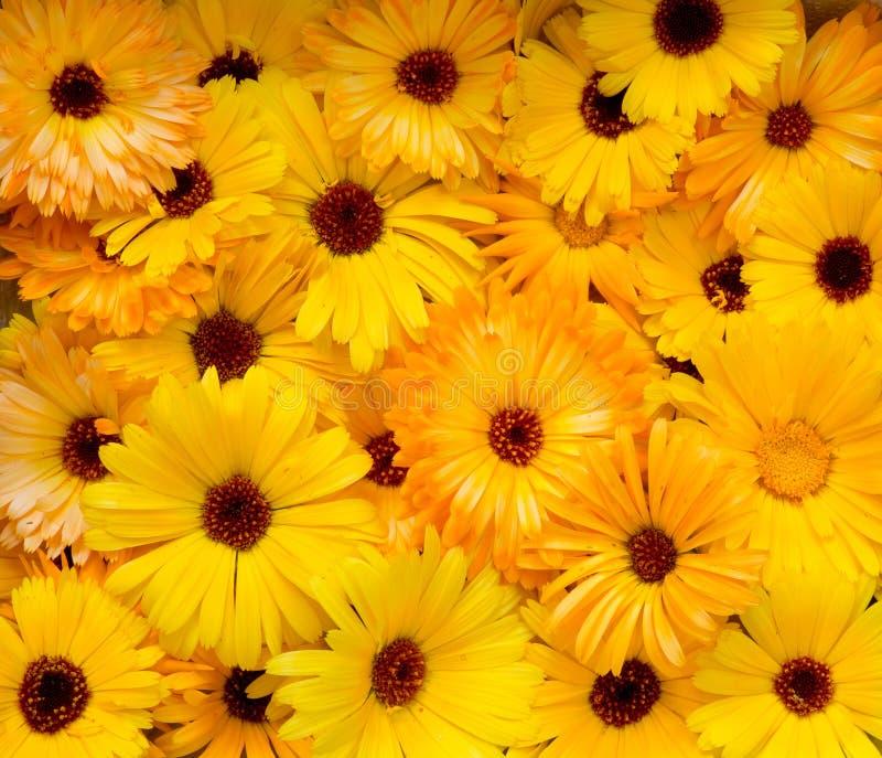 Heller gelb-orangeer Köpfchen-Ringelblume Calendula Officin stockbilder