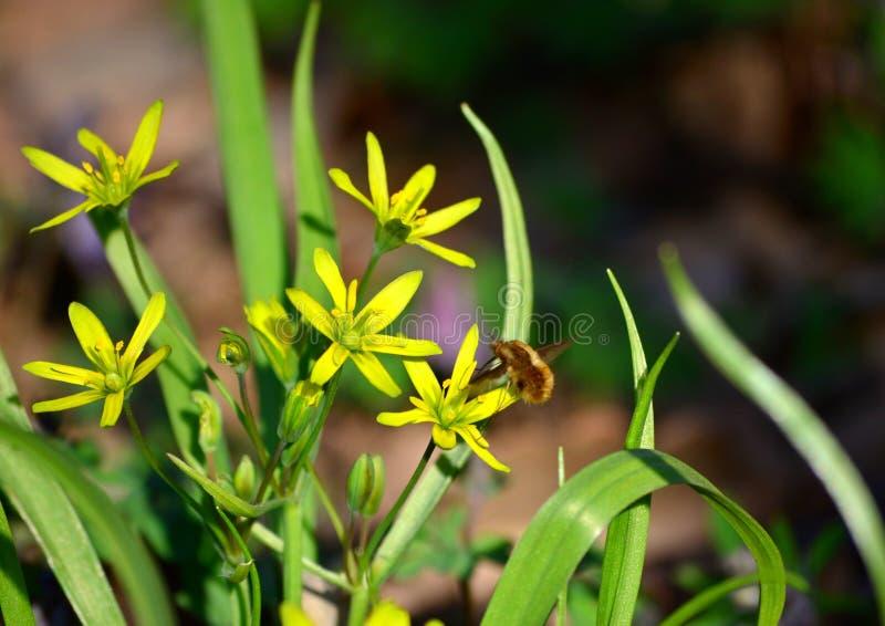 Heller gelber Blumen gagea im Frühjahr Wald, Vorboten des warmen Wetters stockfotos