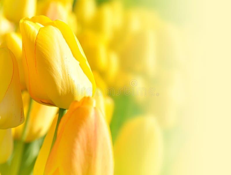 Heller Gelber Blumen-Tulpe-Hintergrund Stockfotos