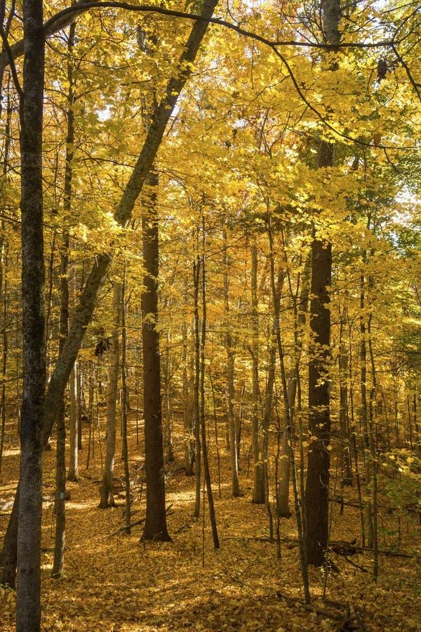 Heller gelber Herbstlaub innerhalb des Waldes an Mansfield-Höhle, Co lizenzfreie stockbilder