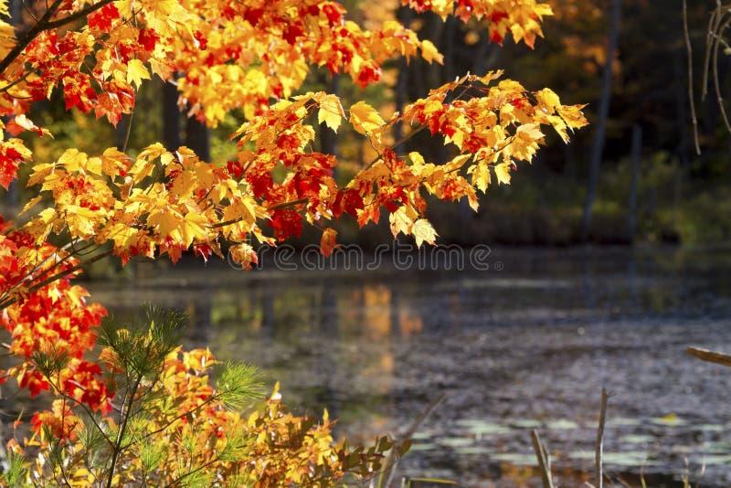 Heller Herbstlaub bei Quincy Bog, New Hampshire stockfotografie