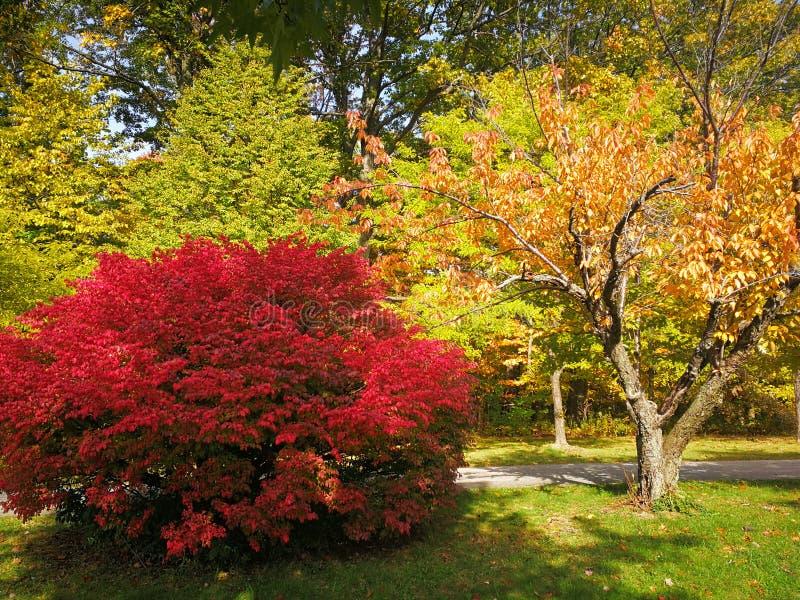 Heller hochroter roter Busch im bunten Herbstwald mit interessantem buntem Laub stockfotos