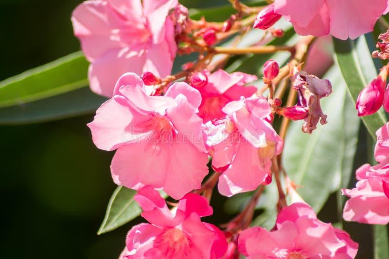 Heller rosa Oleander Nerium stockfotografie