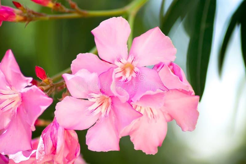 Heller rosa Oleander Nerium lizenzfreies stockbild
