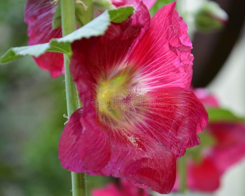 Heller rosa Stockrose-Abschluss oben stockbilder