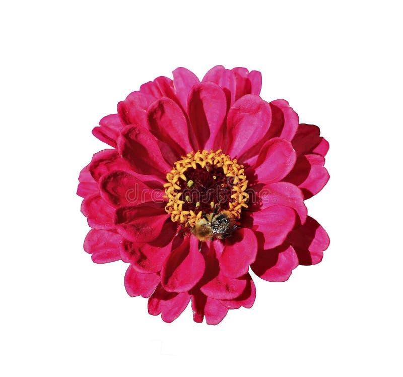 Heller roter Blume Zinnia lokalisiert lizenzfreies stockbild