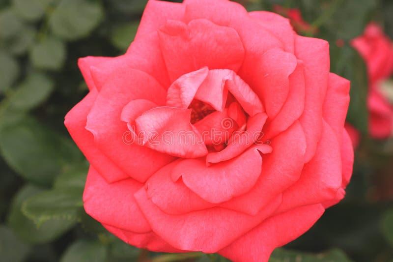 Heller roter Garten stieg stockfoto