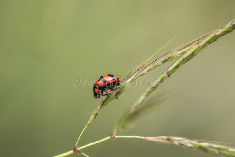 Heller roter kleiner Marienkäfer klettert die Reispflanze stockfotografie