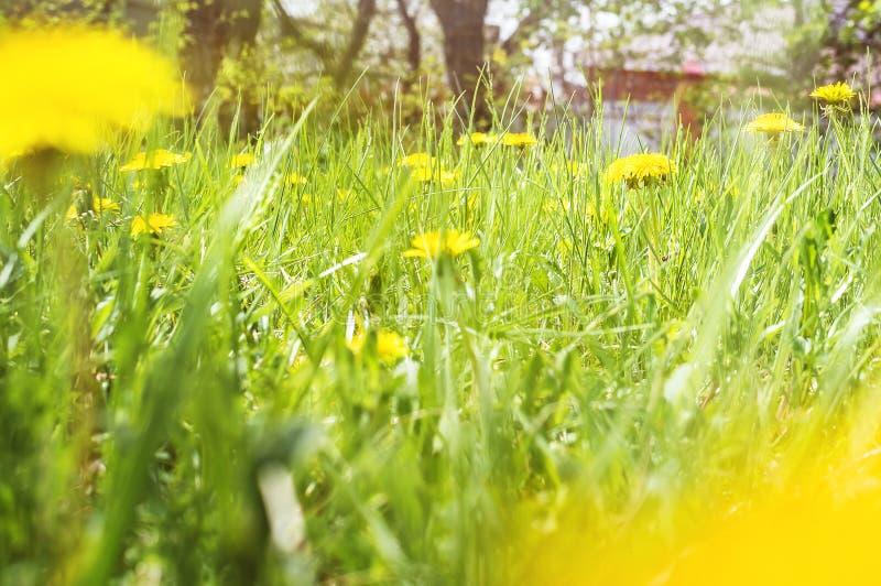Heller Sommerhintergrund des Grases mit Löwenzahn Weicher Fokus lizenzfreies stockbild