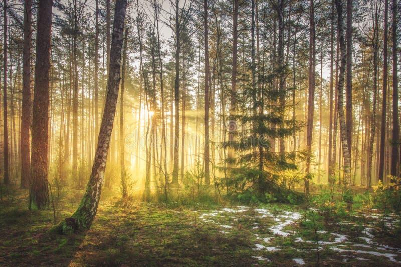 Heller Sonnenaufgang und Sonnenschein im malerischen Frühlingswald am Morgen Sun strahlt durch Bäume von Waldszenischer Naturland stockfoto