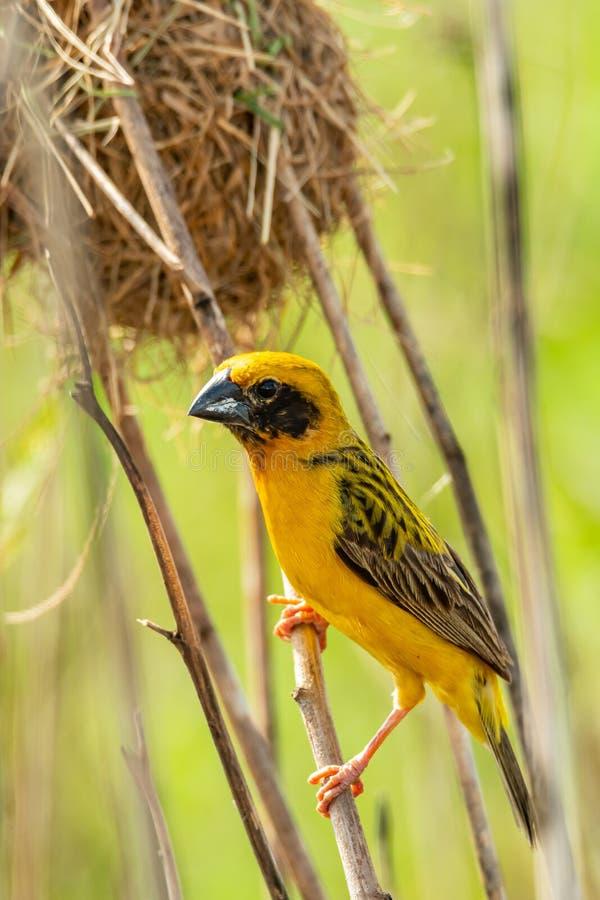Heller und gelblicher männlicher asiatischer Goldweber, der auf getrockneter Stange nahe seinem Nest hockt lizenzfreie stockfotografie