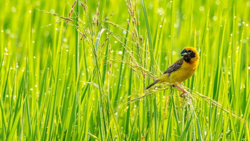 Heller und gelblicher männlicher asiatischer Goldweber, der auf Reisohr mit jungem Reiskorn im Schnabel hockt lizenzfreie stockbilder