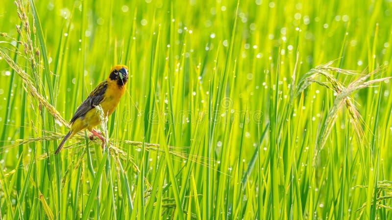 Heller und gelblicher männlicher asiatischer Goldweber, der auf Reisohr mit jungem Reiskorn im Schnabel hockt stockbild