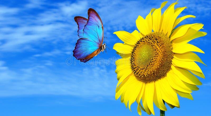 Helles blaues Schmetterlingsmorpho und -sonnenblume gegen einen blauen Himmel Schmetterling auf einer Blume Fliegenschmetterling lizenzfreie stockbilder