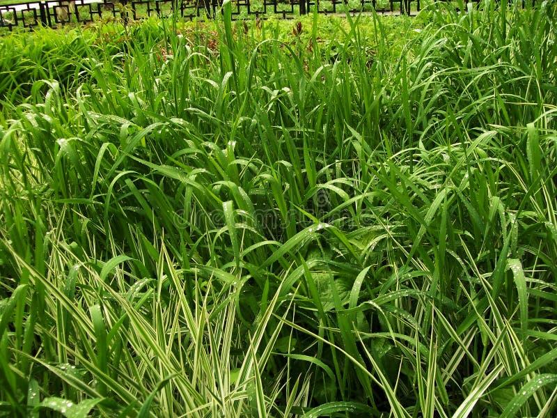 Helles einfaches Gras nach Regen lizenzfreie stockbilder