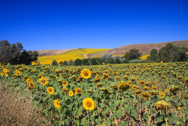 Helles glänzendes Sonnenblumenfeld in der hügeligen ländlichen Landschaft unter dunkelblauem Himmel - Andalusien, Spanien stockfotos