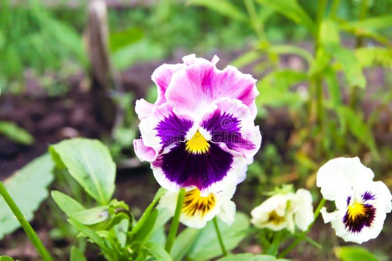 Helles Rosa und purpurrote Pansies stockfotografie
