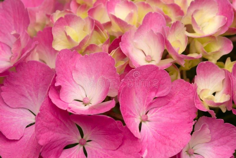 Helles Rosa und sahnige gelbe Hortensie-Blüten lizenzfreie stockfotos
