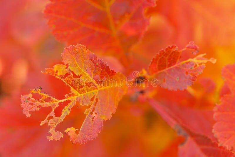 Helles rotes openwork Herbstlaub auf einer Niederlassung eines Busches stockfotografie