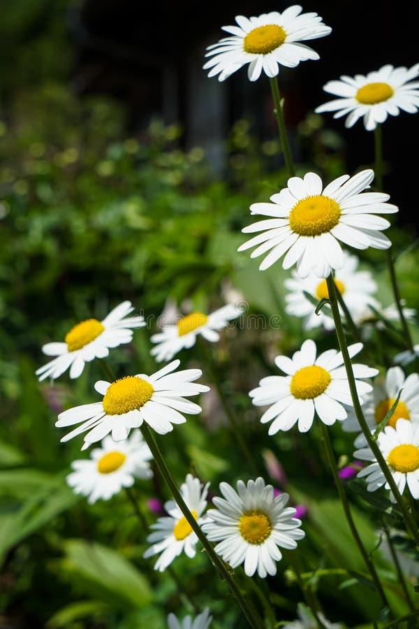 Helles weißes Gänseblümchen der Nahaufnahme blüht das Blühen mit dem gelben Blütenstaub auf Straßenseite unter Unkräutern am Sonn lizenzfreie stockfotografie