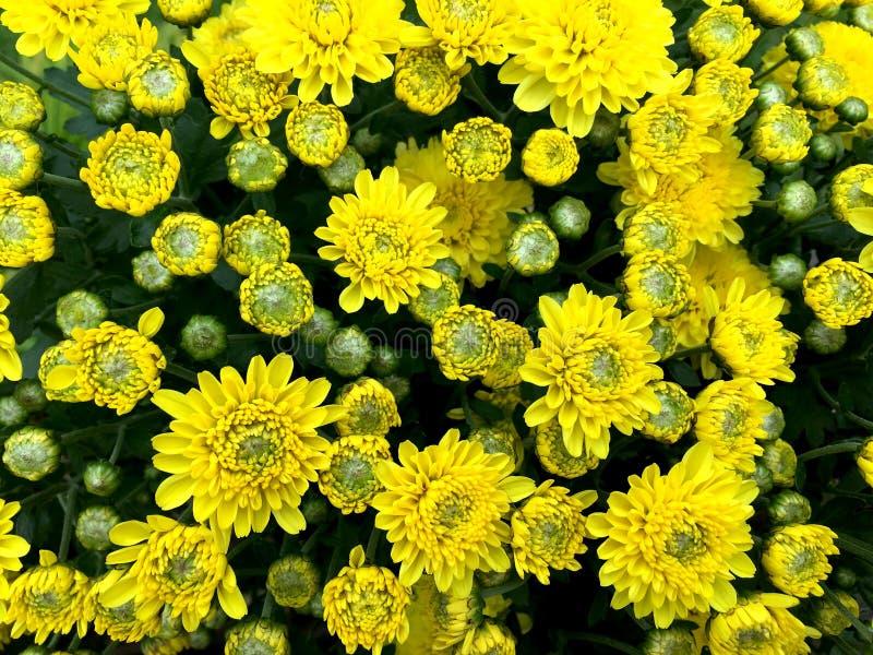 Hellgelbe Mischung grüne chrysanths blühen blühende Vorderansicht im Topf stockfotos