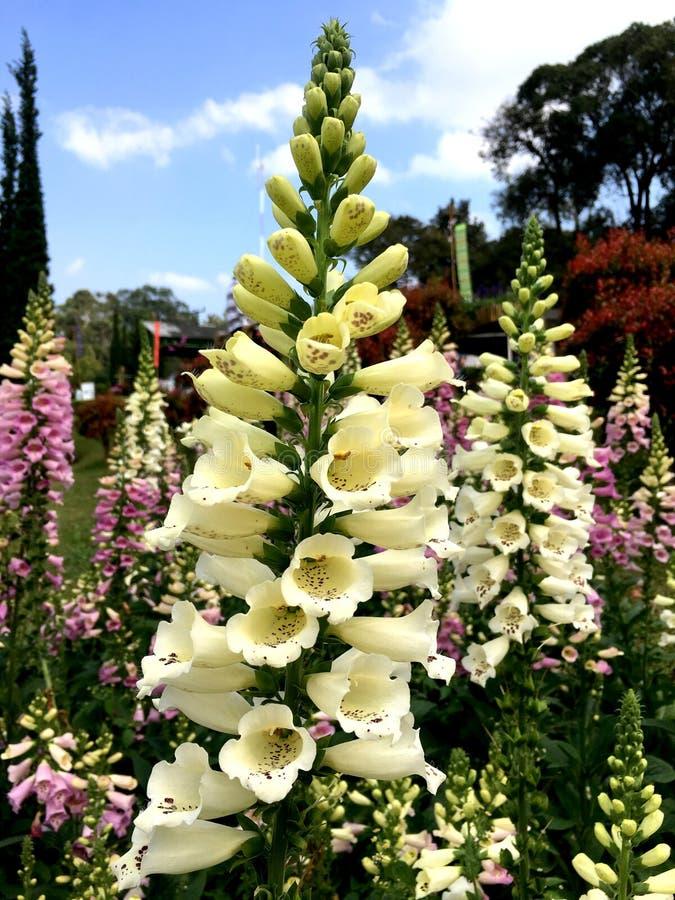 Hellgelber Fingerhut foxy oder Fingerhutblume im Garten lizenzfreies stockbild